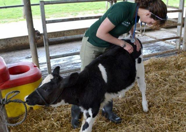 Что делать, если у коровы встал желудок