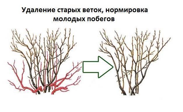 Как восстановить кусты смородины