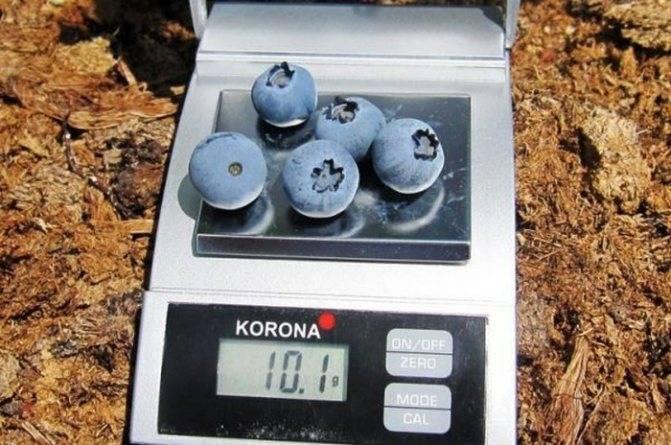 Сорта голубики – дениз блю. выращивание на приусадебном участке