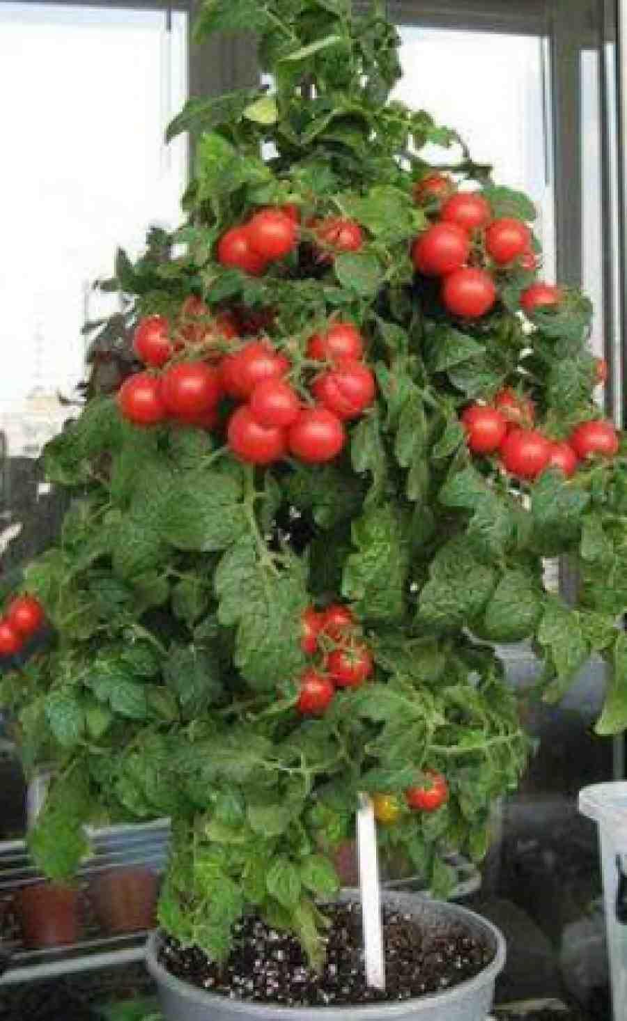 Свежие овощи круглый год. как вырастить помидоры дома: особенности и рекомендации