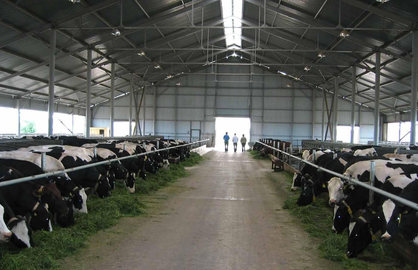 Как лечить лишай у телят и коров в домашних условиях?