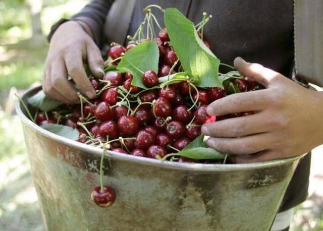 Черешня подарок рязани — описание сорта, фото, отзывы садоводов