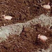 Посадка картофеля по проверенной голландской технологии: подходящие сорта, обязательные условия
