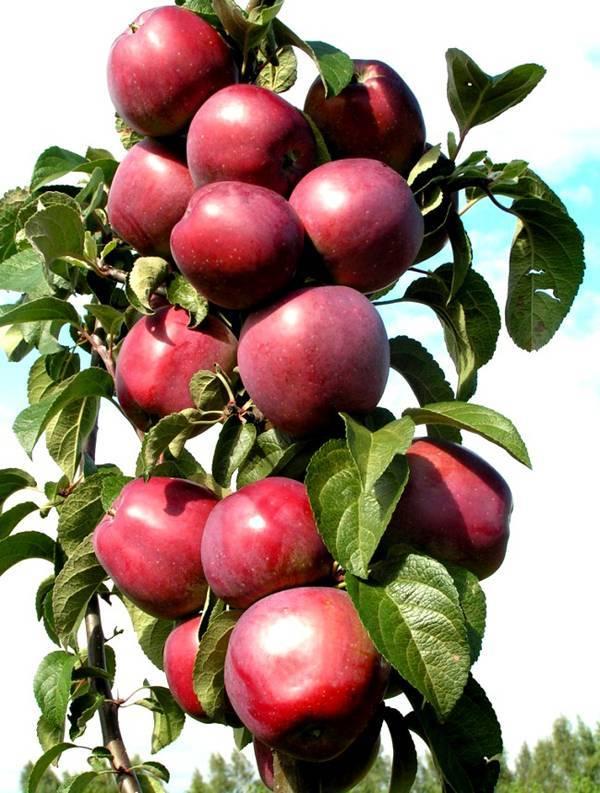 Лучшие 9 сортов колоновидной яблони для подмосковья