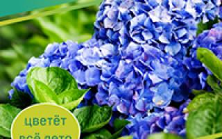 Гортензия крупнолистная: сорта, выращивание и размножение