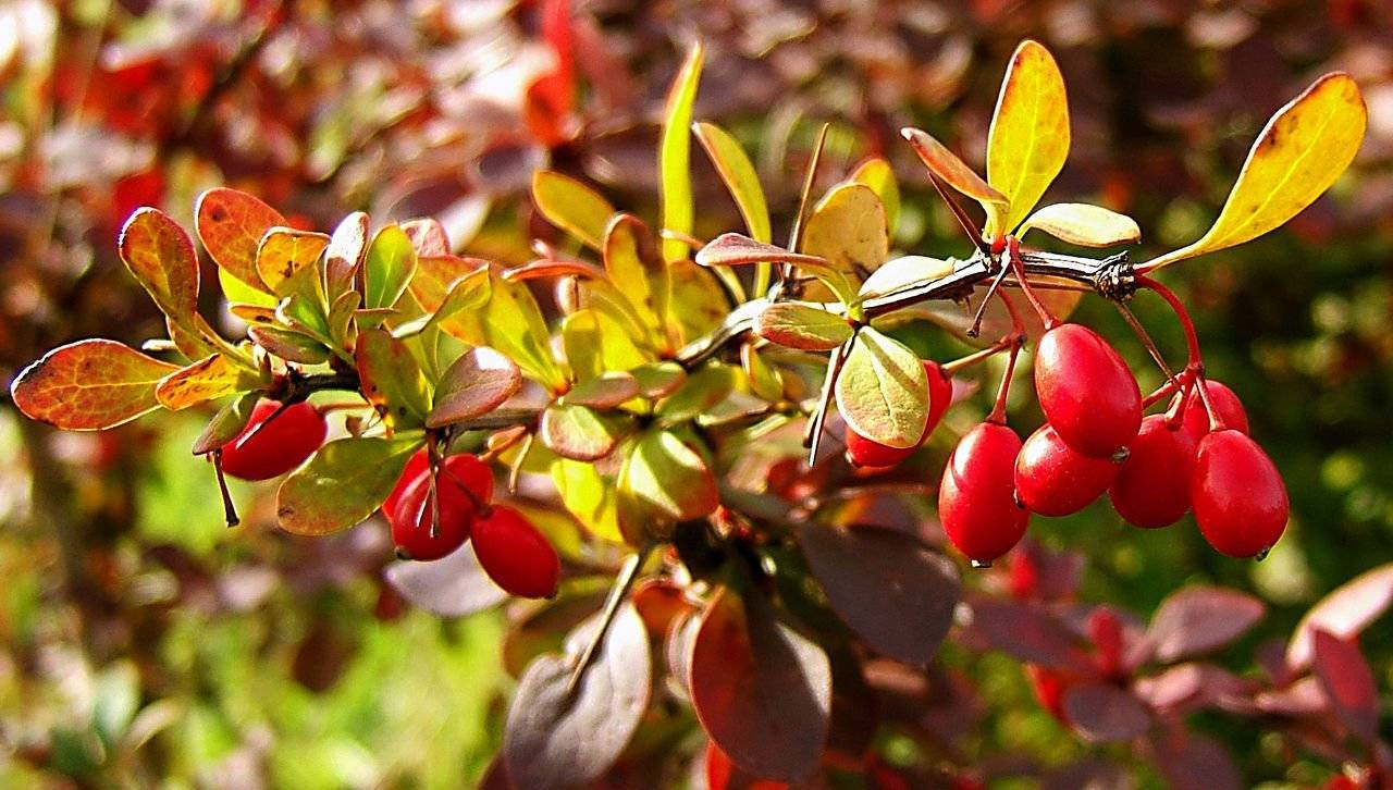 Барбарис: когда собирать ягоды