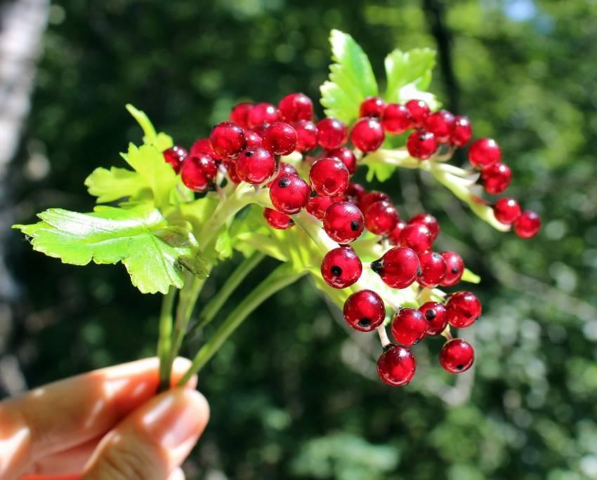 Красная смородина уход и выращивание: сорта, обрезка, посадка и правила размножения в домашних условиях (115 фото)