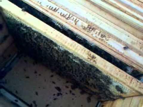 Объединение пчелиных семей в августе и осенью перед зимовкой