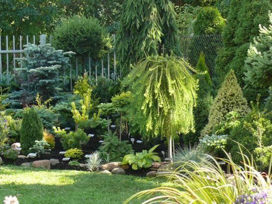 Лиственница плакучая на штамбе: как вырастить в собственном саду