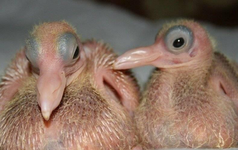 Птенец голубя: фото, видео, где живет, как выглядит
