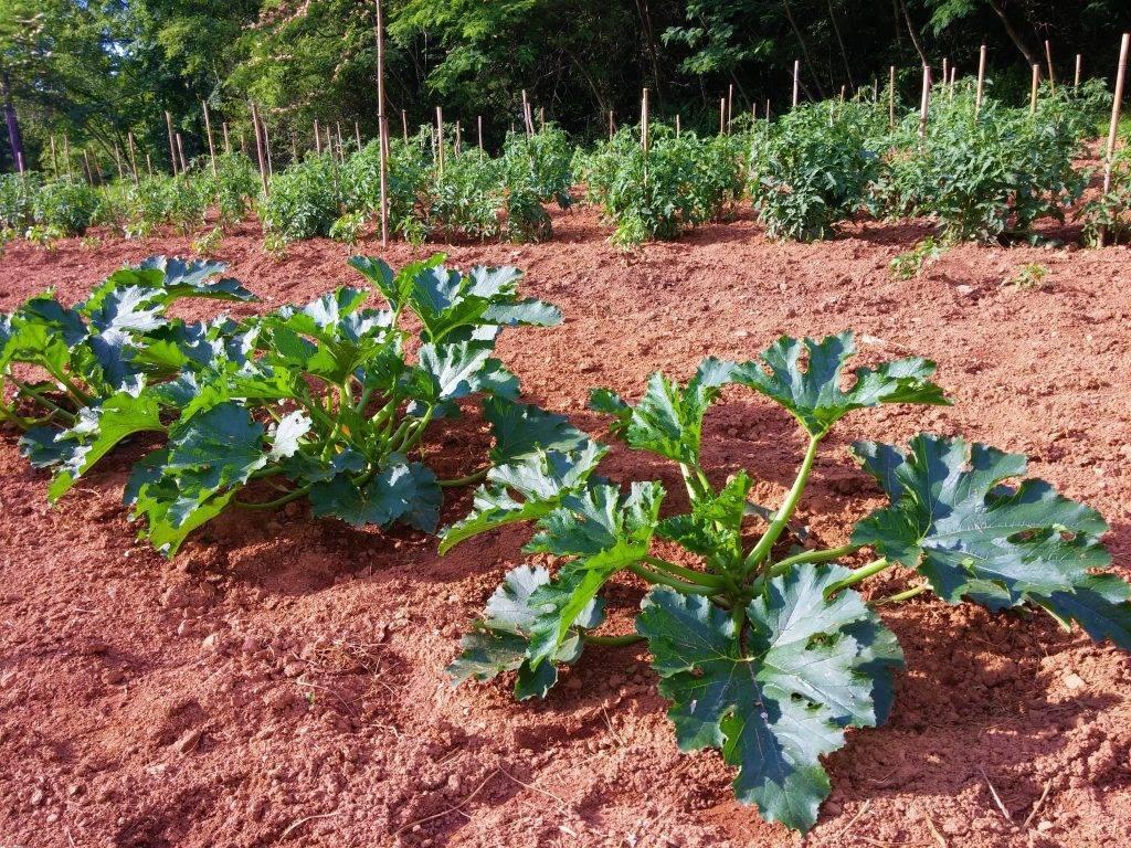Посадка кабачков на рассаду: когда сажать и как выращивать