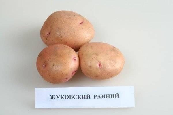 Сорт картофеля жуковский ранний — описание, особенности выращивания