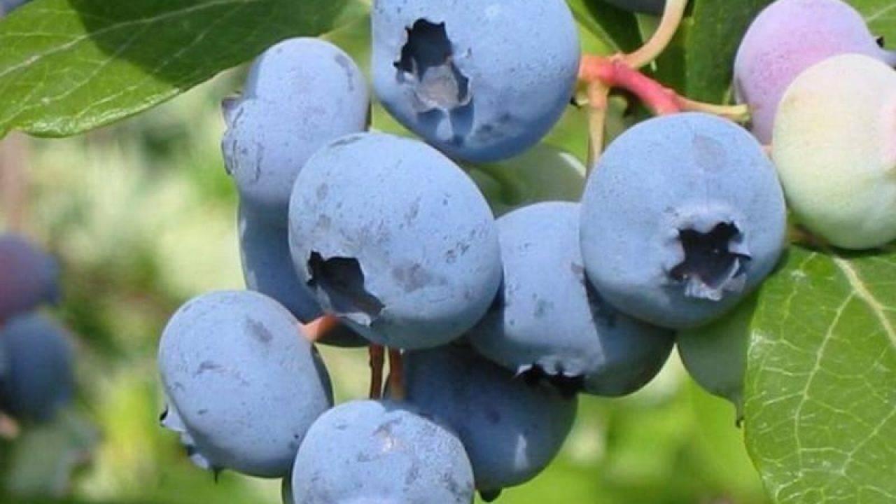 Голубика патриот: ботаническое описание и агротехника