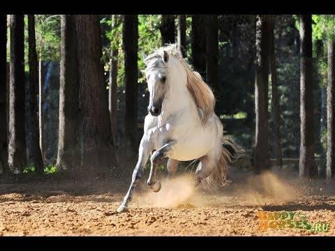 Описание андалузской породы лошадей