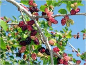 Восточная «ягода жизни»: за что ценится шелковица и почему раньше за нее могли убить