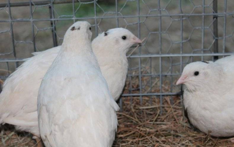 Содержание и разведение белых техасских перепелов