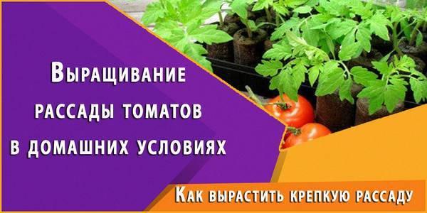 Выращивание рассады томатов в домашних условиях: правила ухода после всходов
