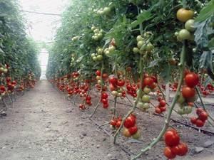 Что такое индетерминантные и детерминантные сорта томатов: отличия между ними, преимущества и недостатки