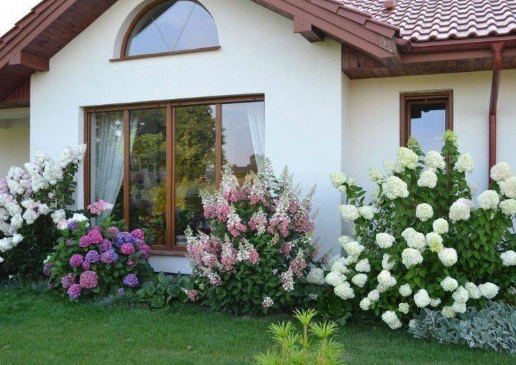 Посадка садовой гортензии в открытый грунт весной и летом: уход за цветами