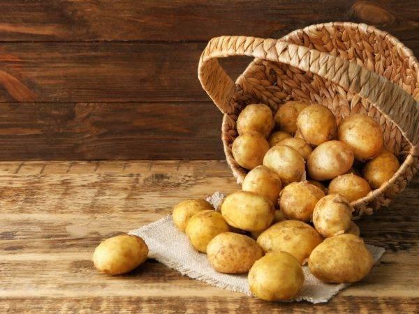 Скороспелый и неприхотливый сорт картофеля «молли»