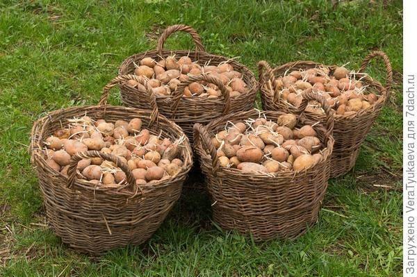 Календарь посадки картофеля на май 2019 года, температурные коррективы, оптимальные сроки высадки по регионам россии, правильная посадка картофеля в открытый грунт, удобрения и другие способы увеличить урожайность