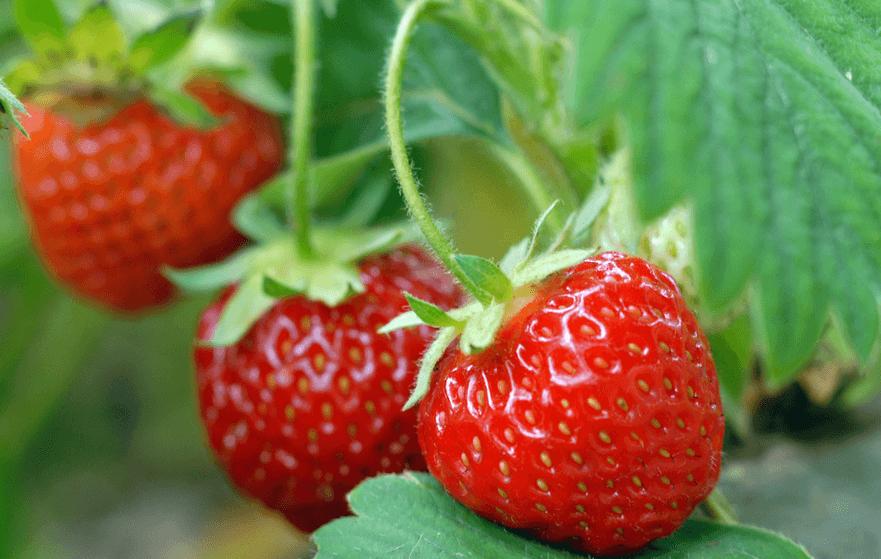 Советы по выращиванию садовой земляники корона