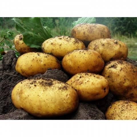 """Картофель """"леди клэр"""" (леди клер) -  описание сорта, его точная характеристика и фото"""