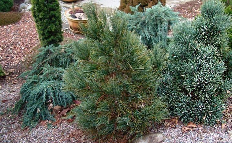 Как пересадить сосну из леса: осенью и весной