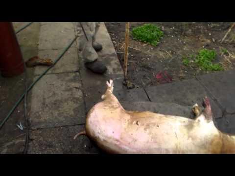 Карбонат свиной — содержание жиров
