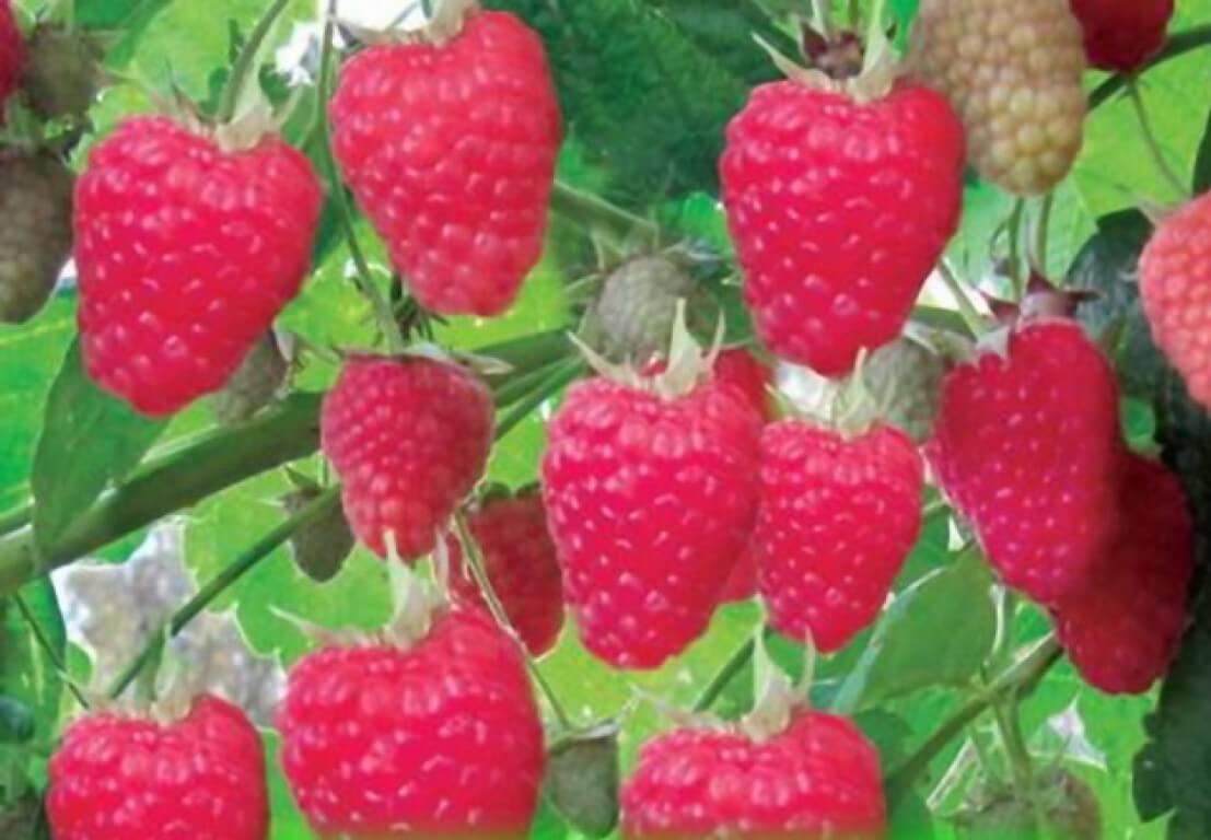 Новые перспективные сорта малины по состоянию на 2019 г.