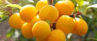 Сорта слив-гигантов, у которых каждый плод будет весить более 70 грамм