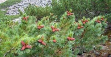 Кедровый стланик — целебное растение