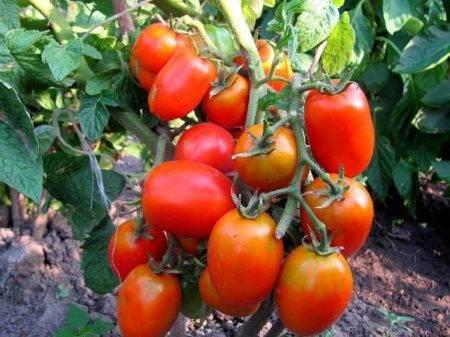 Сортовые томаты на моем огороде. лето 2019 - страна мам