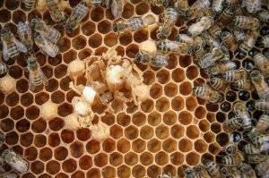 Аскосфероз пчел: как и чем лечить