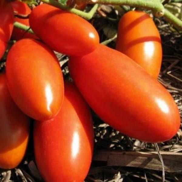 Помидоры «гулливер»: описание, агротехника выращивания
