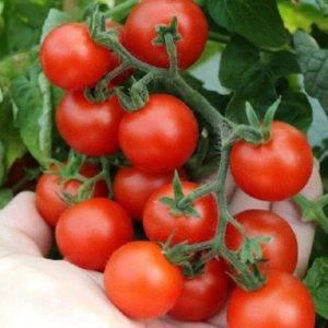 Томат лисичка: характеристика и описание сорта. урожайность, фото и отзывы