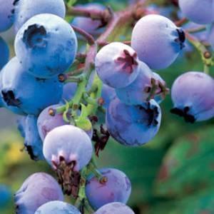 Голубика нельсон — ягоды грибы