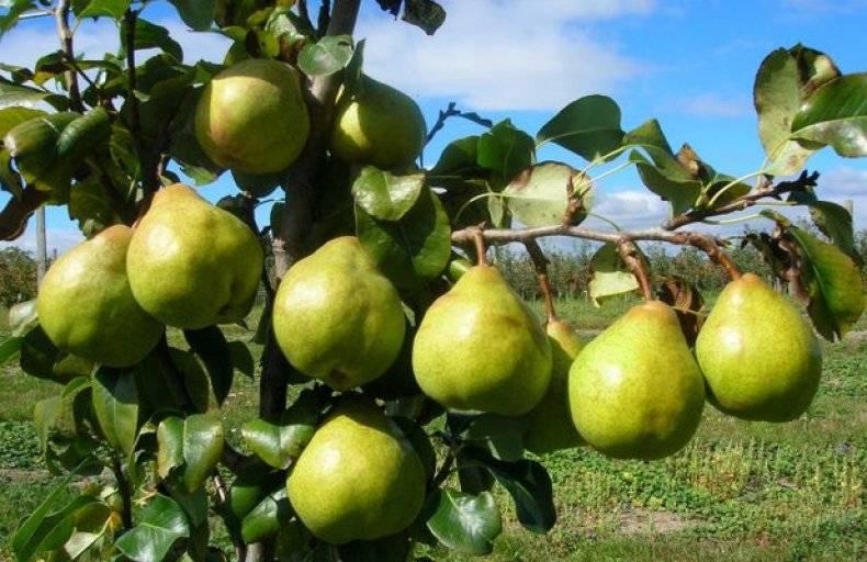О лучших плодовых деревьях для подмосковья: какие сорта посадить на даче