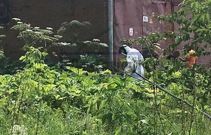 Борщевик — опасный враг на вашем огороде