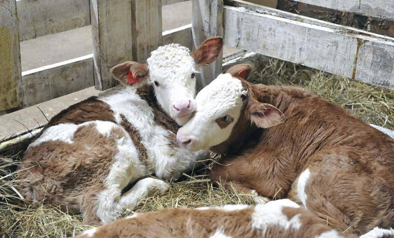 Болезнь легких у телят и коров