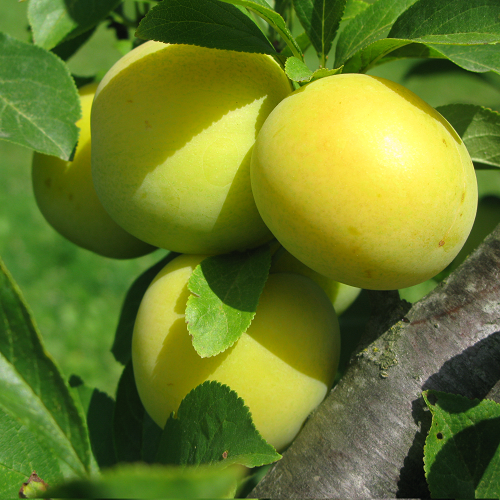Как выращивать сливы на урале: правила и особенности посадки