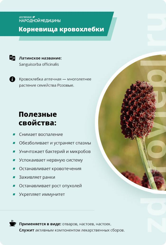 Трава кровохлебка лекарственная – свойства, применение корня