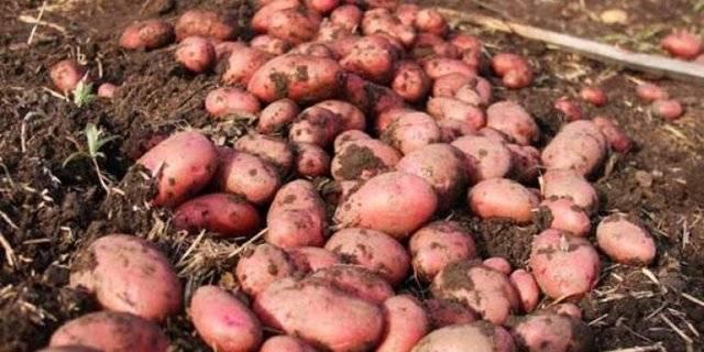 Картофель розара — описание сорта, фото, отзывы, посадка и уход