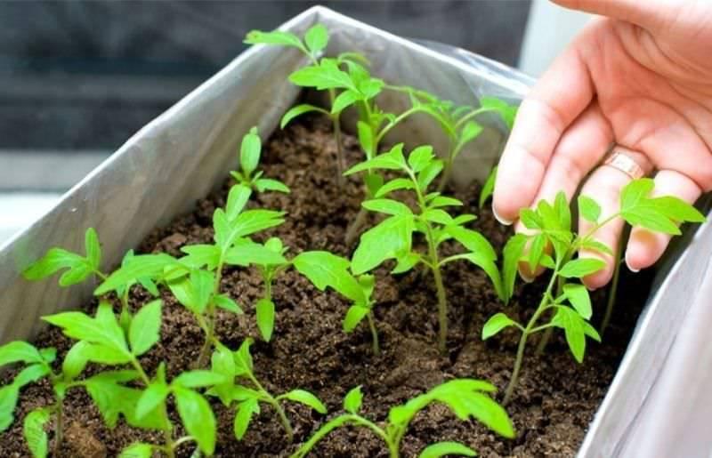 Когда сеять баклажаны на рассаду в Сибири