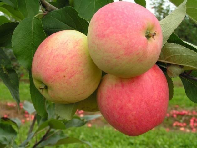 Описание сорта яблок антоновка и советы по уходу за деревьями