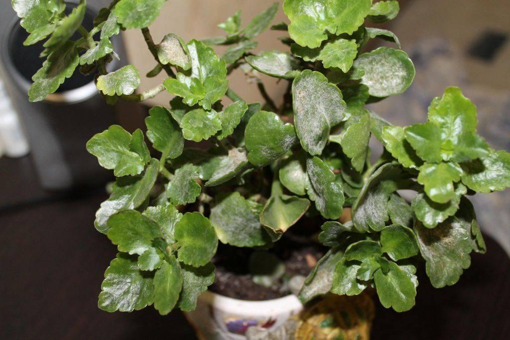 Белый налет на листьях петунии или мучнистая роса как бороться?