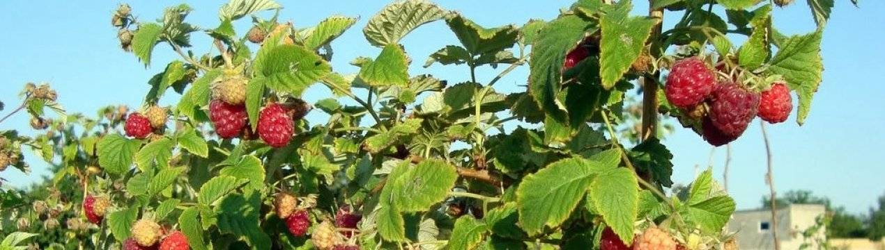 Подкормка вишни: чем подкормить осенью? как подкармливать весной, какие использовать удобрения, чтобы был хороший урожай? сроки внесения удобрений