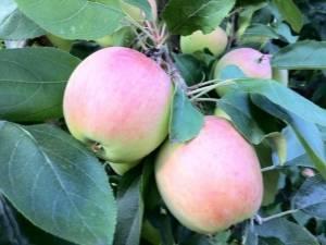 Описание и характеристики яблони сорта бессемянка мичуринская, регионы распространения и отзывы садоводов