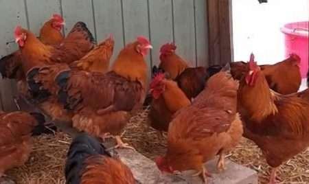 Редбро порода кур: характеристика продуктивности, содержание, уход
