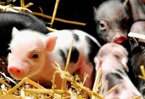 Понос у свиньи что делать